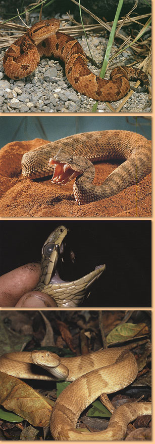 Venomous Snakes of the World