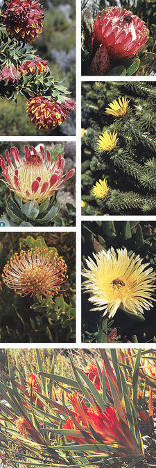 Images from Field Guide to Fynbos, by John Manning and Colin Paterson-Jones.