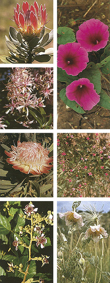Images from the Field Guide to the Wild Flowers of the Highveld by Braam van Wyk and Sasa Malan. ISBN 9781868720583 /ISBN 978-1-86872-058-3